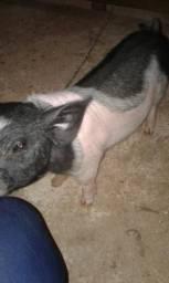 Mini porco macho cachacinho