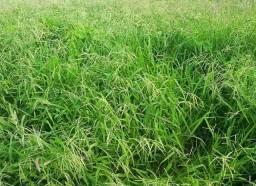 Sementes de Capim Urocloa e Buffel Grass