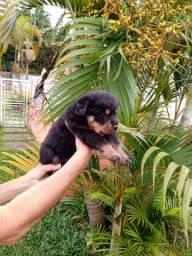 Rottweiler Filhotinhos com Pedigree #Filhotes Brasil