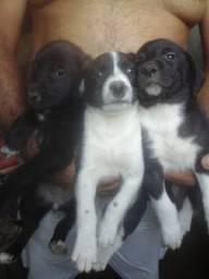 Filhotes de rottweiler com labrador