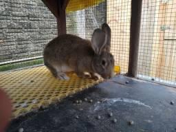 Coelha troco