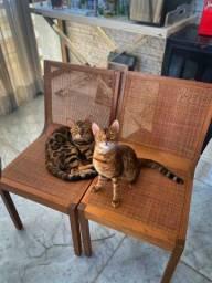 Garanta já o seu Bengal Cat! Acessível!