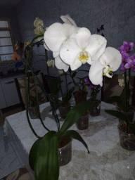 Orquídeas phalaenopsis e dendrobium