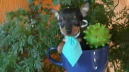 para clientes exigentes filhotes de pinscher miniatura...leia