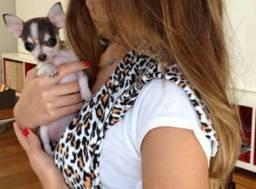 chihuahua femea com 3 meses vacinada
