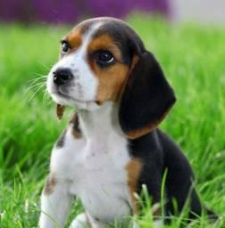 Filhotes de Beagle top com garantia de saúde.
