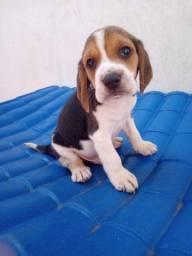 Filhotes Beagle tricolor c/ Pedigree