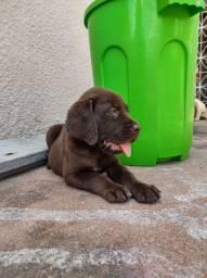Filhote de Labrador Macho e Fêmeas