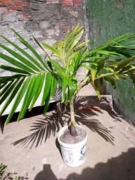 Palmeira índiana ou mexicana
