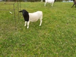 Vende-se ( 3 ovelhas + 2 caneiros + 1 filhote)