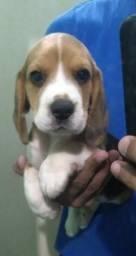 Beagle filhote macho