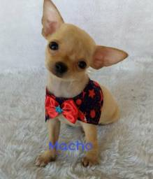 Chihuabua macho mini