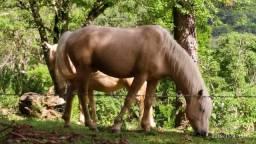 Vende-se dois cavalos