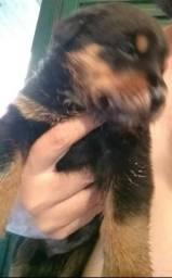 Filhote de Rottweiler