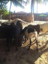 Pra vende 6 borrego 4 macho 2 fêmea valor 700 reais