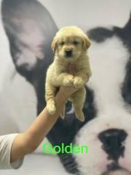 Filhotes de Golden levamos até você