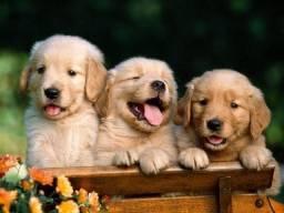 Belíssimos filhotes de Golden