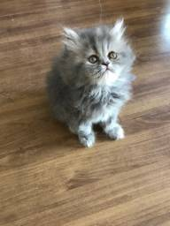 Gato filhote persa fêmea