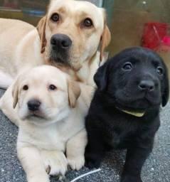 Labrador lindos e saudáveis