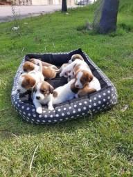 Filhotes de bigo Beagle