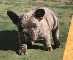 Bulldog Frances Blue Gen