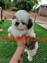 Canil Filhotes Cães Alto Padrão BH Shihtzu Poodle Lhasa Yorkshire Maltês