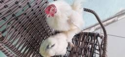 Compra e vende galinha de estimação