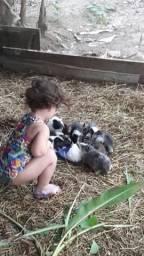 Vendo porquinhos da Índia