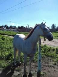 Cavalo de Vaquejada de direita