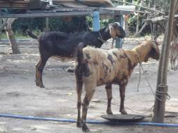 Cabras Anglo