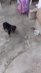 Vendo esse cachorro 65 dia de nascido mais fotos entra em contato
