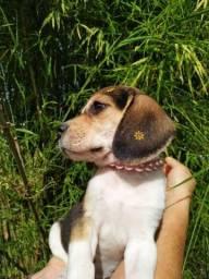 Beagle, promoção! Aproveite para dar como presente de natal!