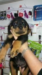 Rottweiler Cabeça de Touro 50 dias