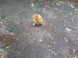 Galo e galinhas conchinchina novos