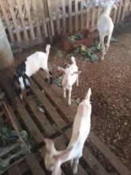 Filhote Cabra e Carneiro