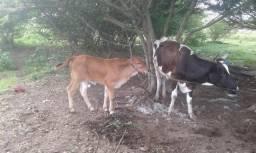 Vaca e bezeiro leia o anuncio