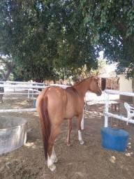 Lindo Cavalo quarto de milha vendo ou troca