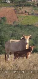 Vacas mestiça