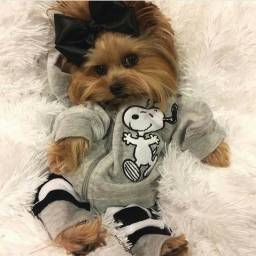 Yorkshire Terrier bbs disponíveis