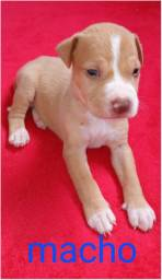 Vendo filhote de pitbull com 30 dias de nascido.
