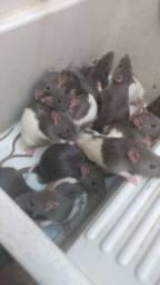 Ratos twisters