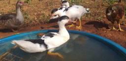 Patos jovens