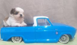 Vendo shitzu macho mini