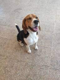 Beagle macho disponivel para cruza