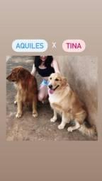 Golden retriever: reserva de filhotes AQUILES x TINA