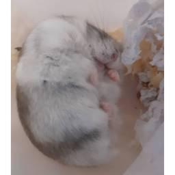 Lindos Filhotinhos de Hamster Anão Russo
