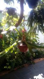 Chifre de Veado (Planta adulta)