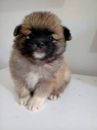 Lulu da Pomerânia Machinho- Com Pedigree