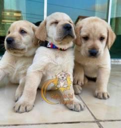 Filhotes de Labrador Lindinhos
