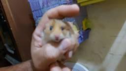 Lindos Filhotes de hamster sírio de São Gonçalo